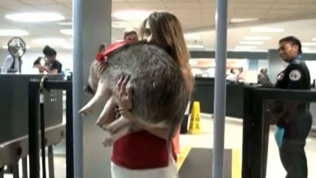 Flyer Brings Pig On Aa Flight For Emotional Support